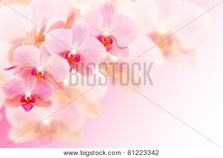 Exotic Pink Spotted Orchid Flowers On Blurred Background