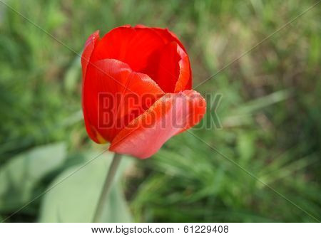 Red Tulip, Side View