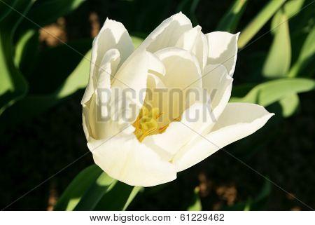 Polypetalous White Tulip