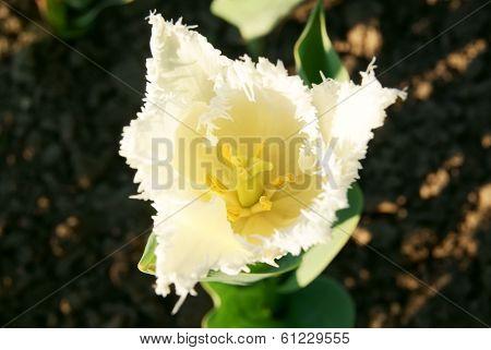 Fringed White Tulip