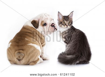 puppy English Bulldog and kitten breeds Maine Coon,  cat and dog