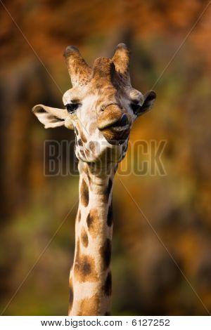 Giraffe-Porträt