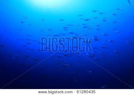 Tuna in Ocean