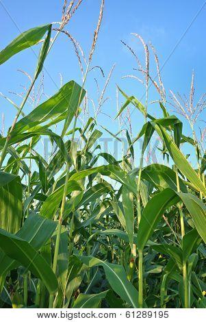 Corn Plants