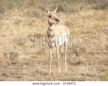 Prong Eared Antelope.
