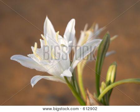 Wild White Flower (lily)