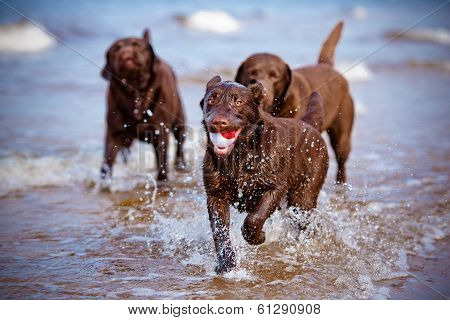 active labrador retriever dog on the beach