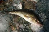Lately from Baltic sea catched out cod. poster