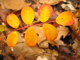 Wet Colored Leaf