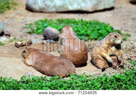 Trio of Prairie Dogs
