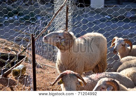 sacrificial sheep waiting in wire cages