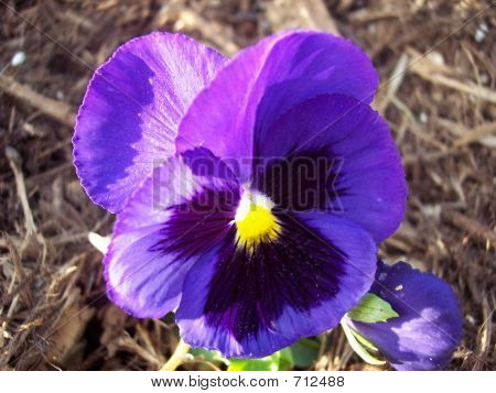 Close Up Of Purple Pansy