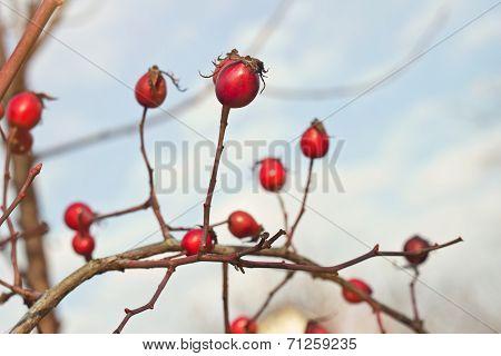 Autumnl Photo Of Dogrose (dog-bramble)