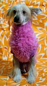 Sad dog of breed Chinese Crested Dog in pink on yellow background poster