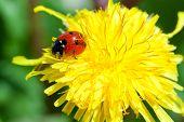 Macro shot of a ladybug rest on a flower poster