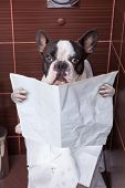 French bulldog sitting on toilet and reading newspaper poster