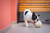 French bulldog playing with ball on the balcony poster