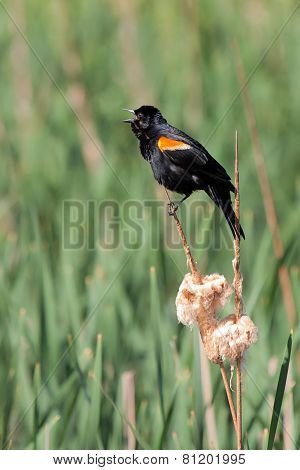 Red-winged Blackbird Screams