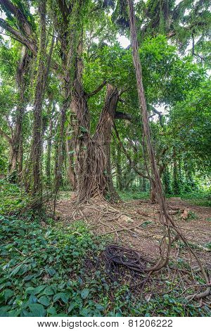Jungle tree vines
