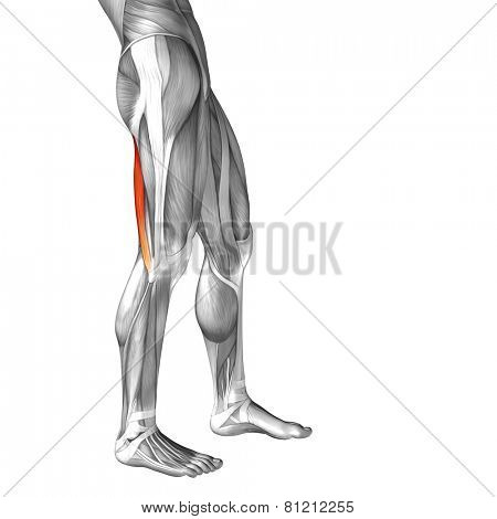 Concept or conceptual 3D biceps femoris human upper leg anatomy or anatomical and muscle isolated on white background
