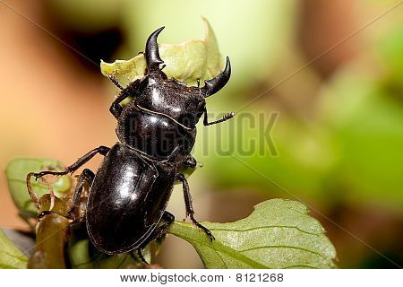 Rhinoceros beetle for background or others use poster