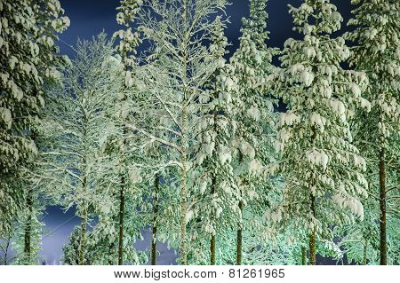 forest at winter, Lappland, Sweden
