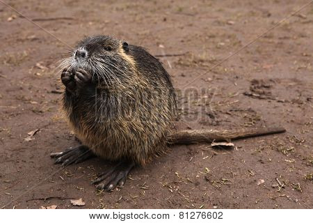Coypu (Myocastor coypus), also known as the nutria, inhabiting on riverbanks in Hradec Kralove, Czech Republic.