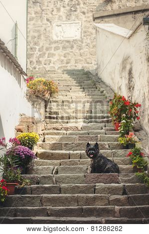 Cairn Terrier Sitting At Old Staircase In Szentendre