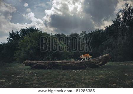 Red Border Collie Dog Runs On A Log In Dark Forest