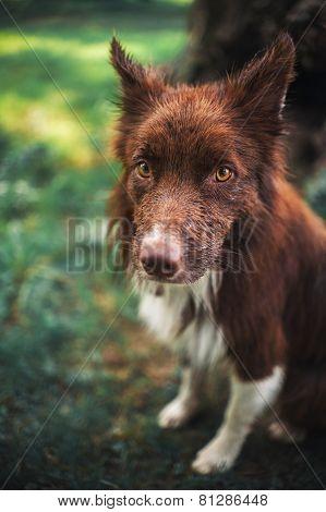 Red Border Collie Dog, Portrait Close