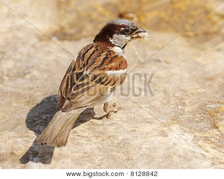Snapshot sparrow on a rock with a piece of bread in its beak. poster