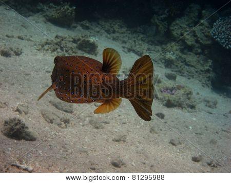 Kofferfisch Von Der Seite