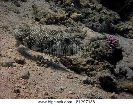 white spots pufferfish