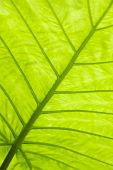 Green leaf surface macro shot shallow DOF and Adobe RGB color profile used for output JPG file poster