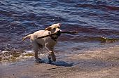 The beautiful joyful wet dog going out from the water on seacoast holding in a teeth a stick. poster