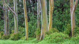 Grove Of Rainbow Trees