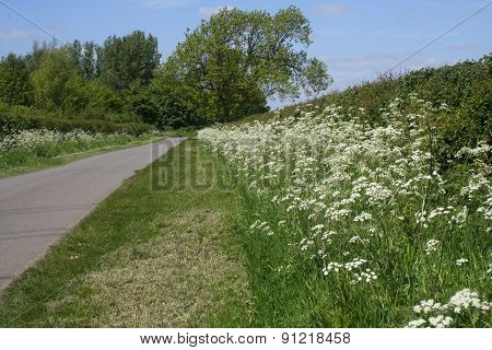 Cow Parsley, anthriscus sylvestris.