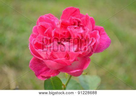 Red damask rose