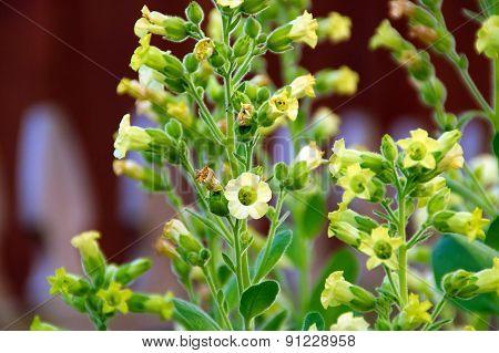 Tobacco Flowers In Bloom