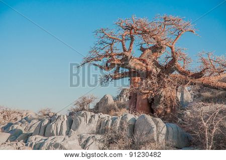 A baobab tree stands among the granite boulders of Kibo Island in the Makgadikgadi Salt pan of Botswana. It's red to orange bark contrasts against the blue sky. poster