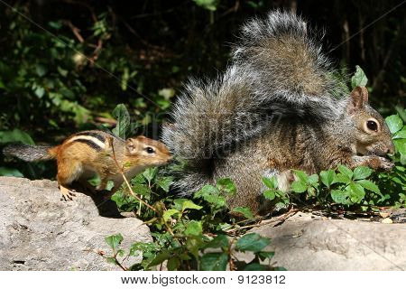 Eastern Gray Squirrel And Eastern Chipmunk Tamias striatus jumping in front of squirrel poster