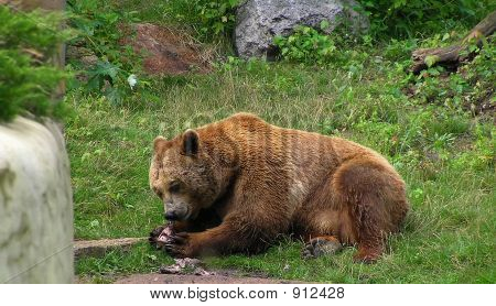 Brown Bear Eating