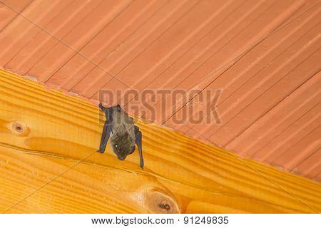 Bat Hanging Upside Down On Wooden Beam