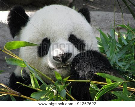 Giant Panda Bear Feeding on Bamboo Leaves