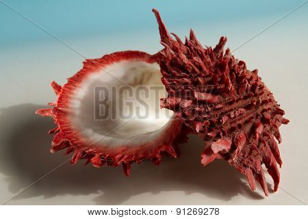 Marine spondylus sea shell