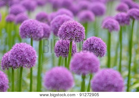 Giant Purple Allium Flowers