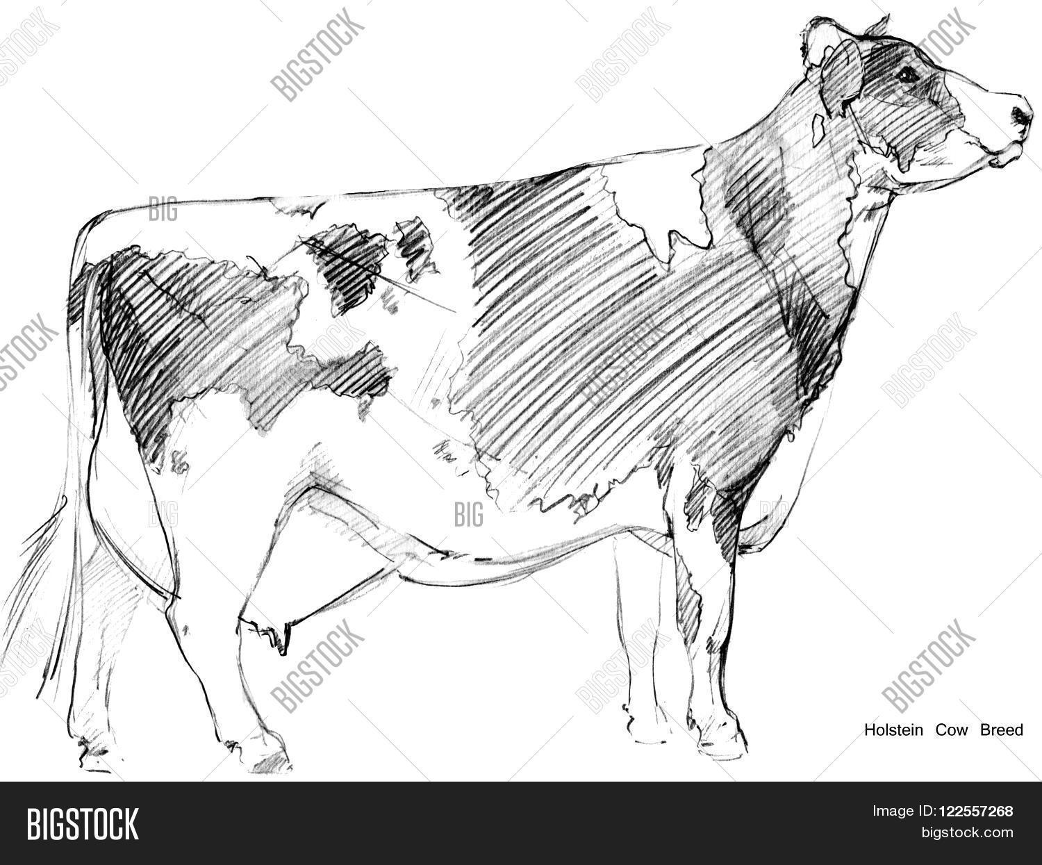 Cow cow sketch dairy image photo free trial bigstock