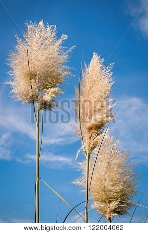 Pampas grasses against a clear blue sky