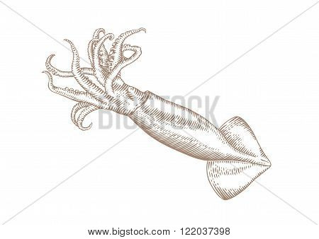 Drawing of isolated raw squid with tentacles on the white background