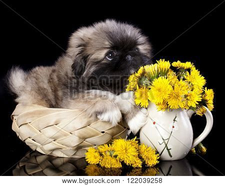 puppy and spring dandelions flowers